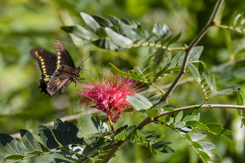 15. Cuba - Malachiet vlinder